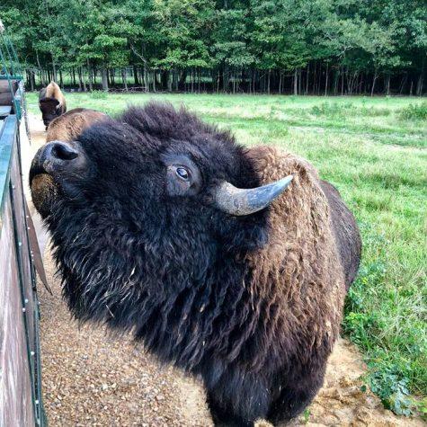 buffalo feeding