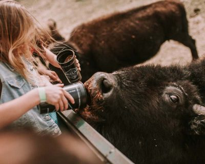 buffalo from safari party