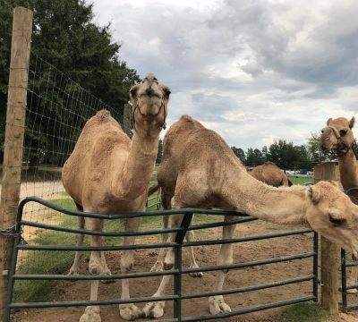 camels galore