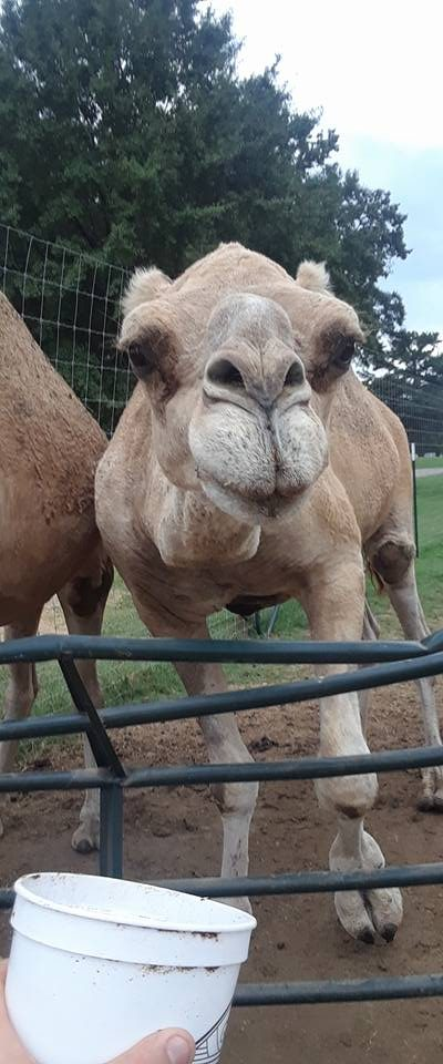 charlie the camel