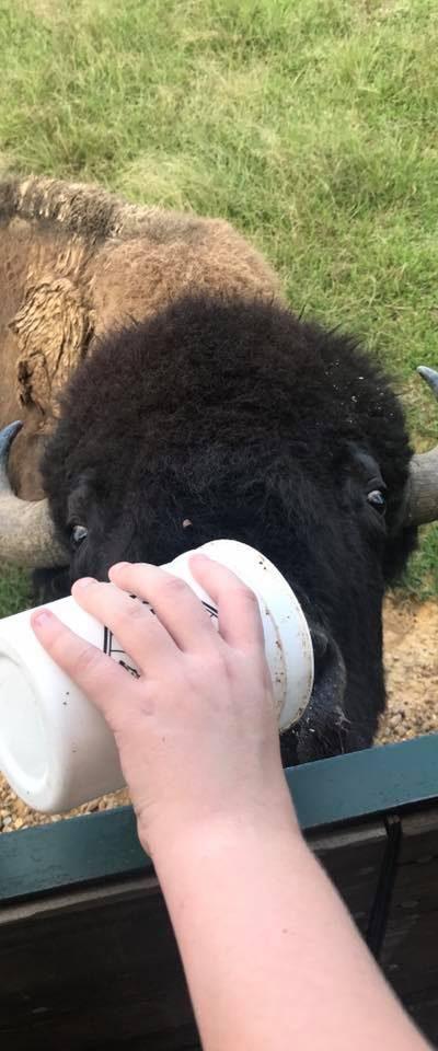 feed the buffalo