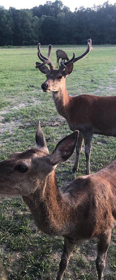 red deer sfari