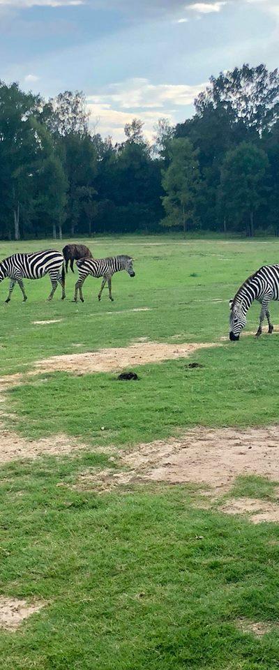 zebra and alpeca