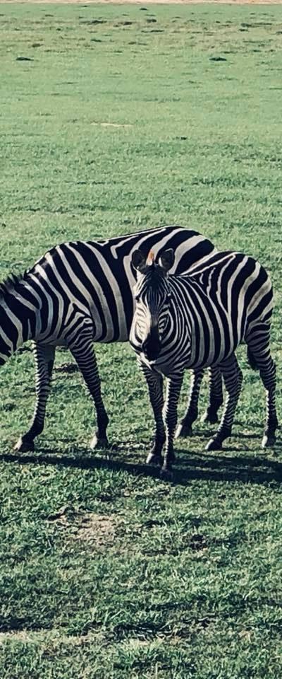 zebras baby